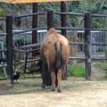 写真: 春の東山動植物園 No - 190:食事中のアメリカバイソンに群がるカラス