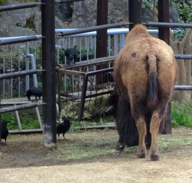 Photos: 春の東山動植物園 No - 191:食事中のアメリカバイソンに群がるカラス