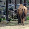 春の東山動植物園 No - 191:食事中のアメリカバイソンに群がるカラス