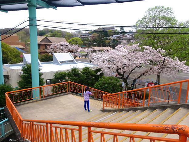 春の東山動植物園 No - 197:満開の桜(2015/4/4)
