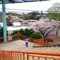 写真: 春の東山動植物園 No - 197:満開の桜(2015/4/4)