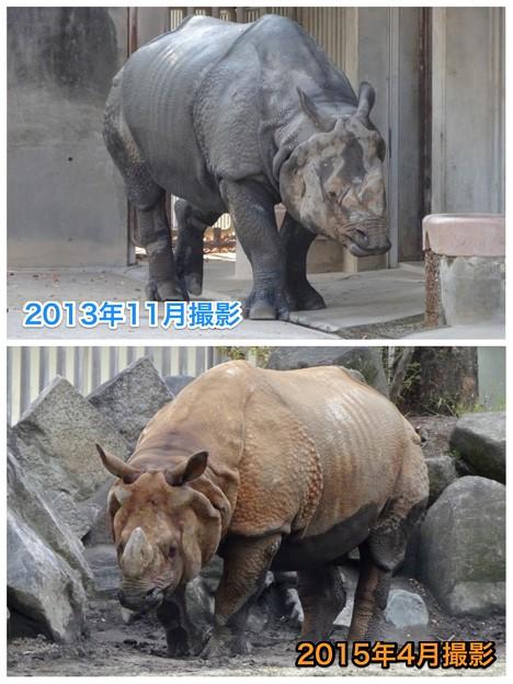 東山動植物園:なぜかいつもより茶色がかっていた、インドサイ - 2