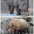 写真: 東山動植物園:なぜかいつもより茶色がかっていた、インドサイ - 2
