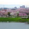 Photos: 桜の時期、水の塔から見下ろした落合公園(2015/4/7)No - 29