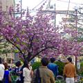 Photos: 満開だった、大須商店街のサトザクラ - 1
