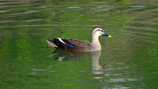 八田川の水面を泳ぐカモ - 1