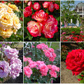 鶴舞公園:様々な色のバラ(2016年5月15日)- 1