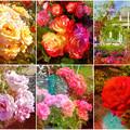 鶴舞公園:様々な色のバラ(2016年5月15日)- 7(フィルター)