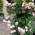 フラリエ:「ローズフェスタ」で展示されてた様々なバラ - 7