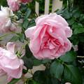 フラリエ:「ローズフェスタ」で展示されてた様々なバラ - 8