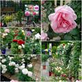 フラリエ:「ローズフェスタ」で展示されてた様々なバラ - 9