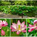写真: 綺麗な花が咲いていた、鶴舞公園の池のハス - 15