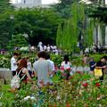 ポケモンGoをする人でごった返す鶴舞公園(2016年7月31日) - 21:満開なバラ越しに見た、ポケモンGoを楽しむ人たち