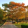 写真: すっかり紅葉してた落合公園の木々 - 2