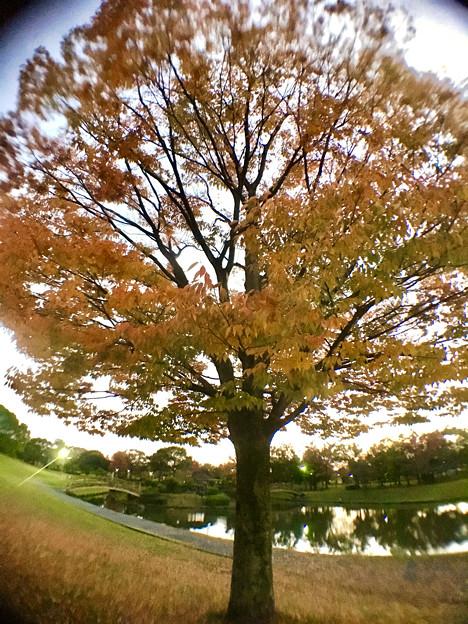 広角レンズ付けて撮影した紅葉した木 - 2