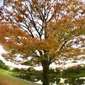 写真: 広角レンズ付けて撮影した紅葉した木 - 2