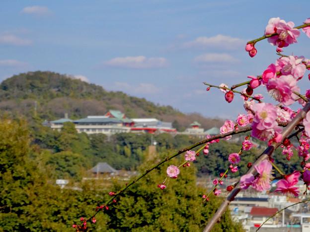 針綱神社の梅越しに見た犬山成田山 - 1