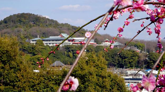 針綱神社の梅越しに見た犬山成田山 - 2