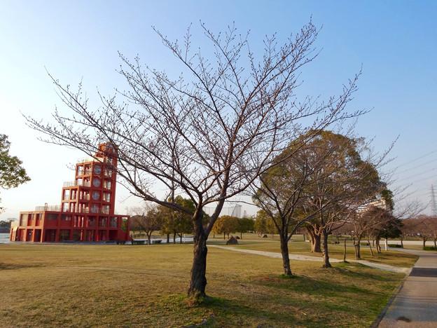落合公園:まだツボミが全く膨らんでなかった、ほとんどのソメイヨシノ(2017年3月27日) - 1