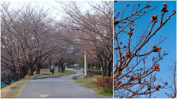 落合公園:まだツボミが全く膨らんでなかった、ほとんどのソメイヨシノ(2017年3月27日) - 7
