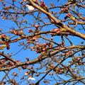 咲き始めていた、大山川沿いの桜 - 4(2017年3月30日)