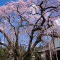 Photos: お寺の桜