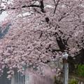 Photos: カモメのお花見