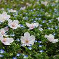 Photos: 野桜