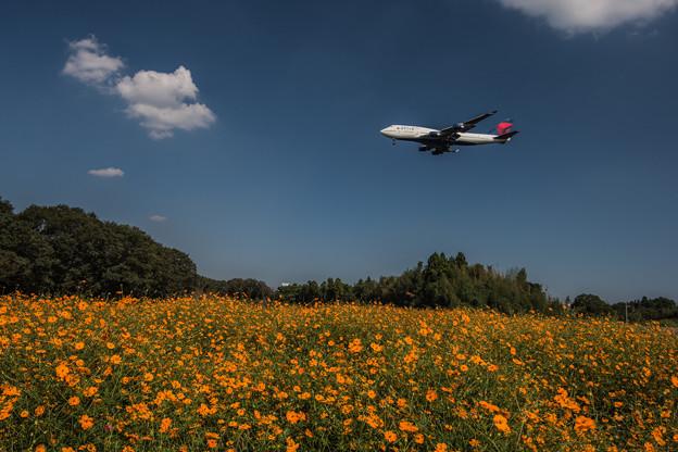 キバナコスモスと飛行機
