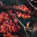 カワセミちゃんと紅葉狩り