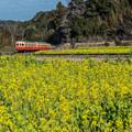 写真: 菜の花と列車