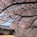 桜のむこうは