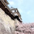 紫竹門壁の桜
