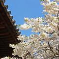 大宝寺の桜