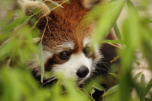 Photos: 生い茂る竹葉の奥で・・・