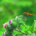 Photos: ゴボウの花とトンボ