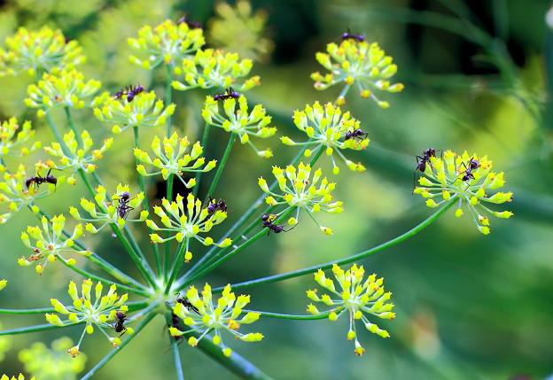 フェンネルの花とクロオオアリ
