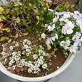 ビオラと白い花