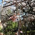 玉蔵院の枝垂桜2