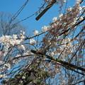 玉蔵院の枝垂桜4