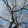 玉蔵院の枝垂桜9