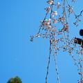 玉蔵院の枝垂桜11