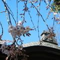 玉蔵院の枝垂桜13
