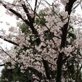 写真: 31日の桜