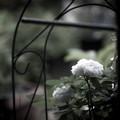 写真: 庭の薔薇