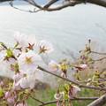 琵琶湖の桜に春がきた。