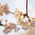 桜の花びらが減ってきた