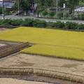 Photos: 稲刈りも休み