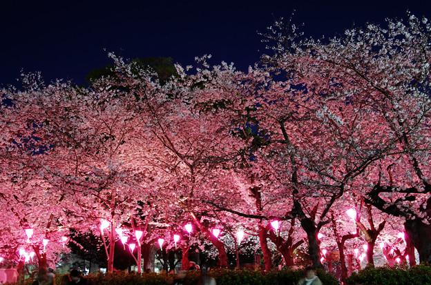 写真: 夜桜@鶴舞公園