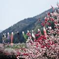 写真: 花桃まつり